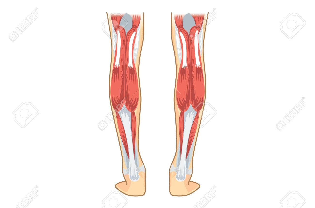 Músculo Del Becerro De Humano. Ilustración Sobre La Anatomía De La ...