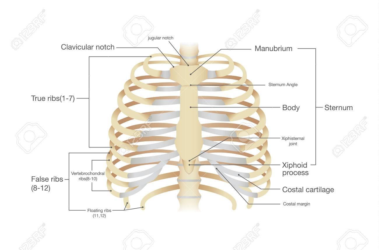 Anatomía De Costilla Humana. Ilustración Del Vector De La Ciencia Y ...