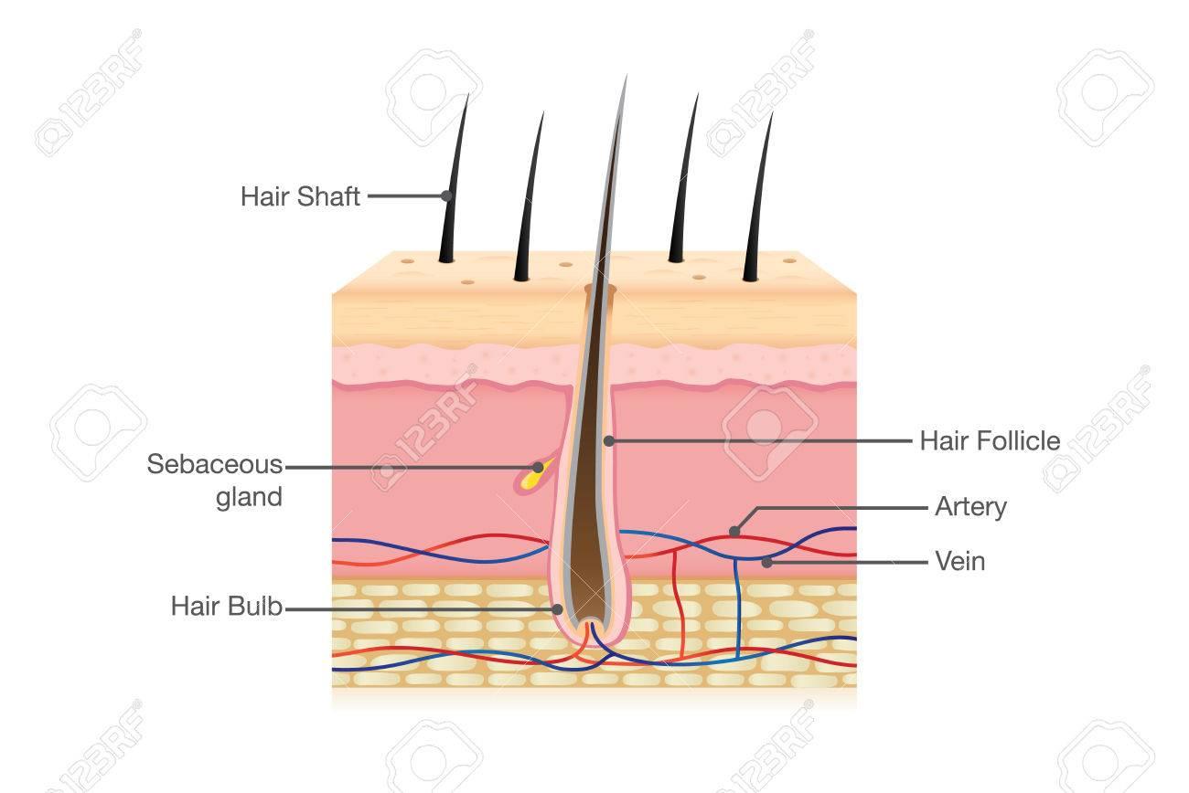 Anatomía Del Cabello Humano En Aislados. Ilustración Sobre La ...