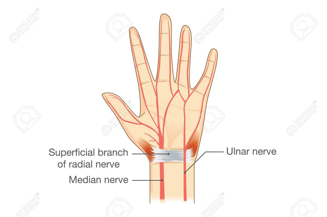 Nerves Of The Hand In Vector Style. Illustration About Human ...