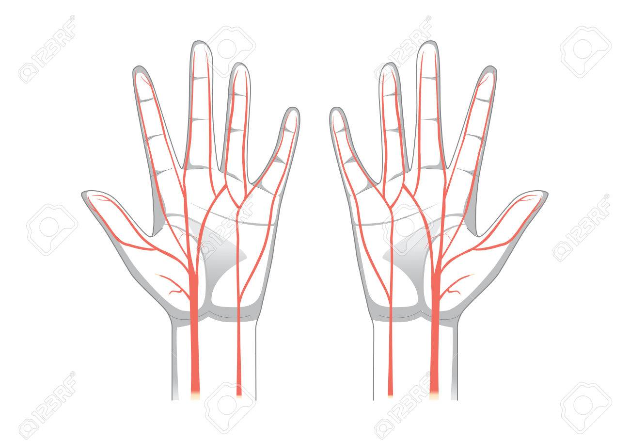 Nerves Of The Hand In Vector Style. Illustration About Medical ...