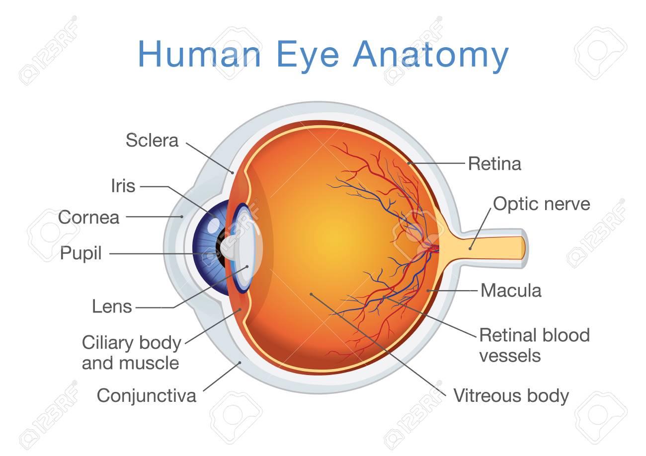 Bestandteile Der Menschlichen Augen Illustration über Anatomie Und ...