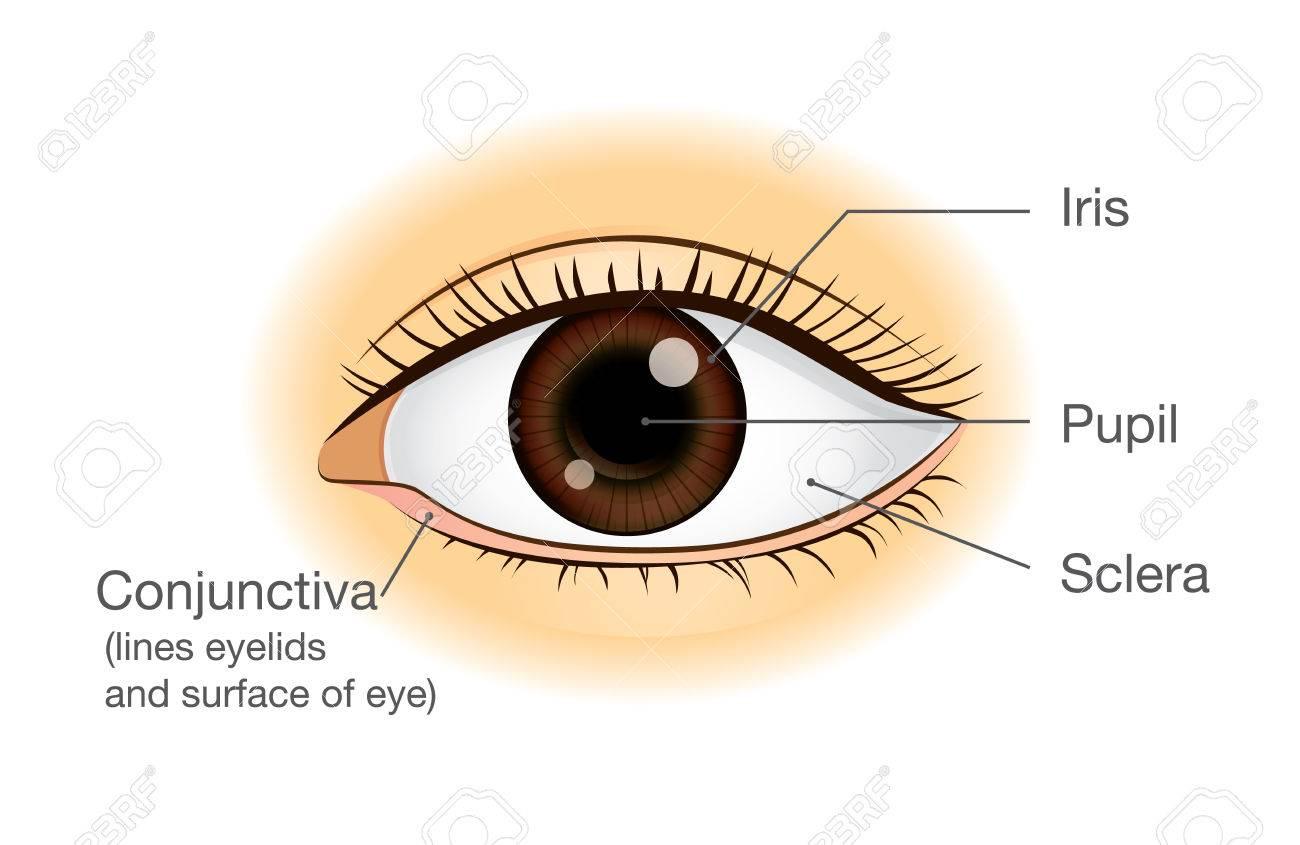 La Anatomía Del Ojo Humano En La Vista Frontal. Ilustración Sobre ...