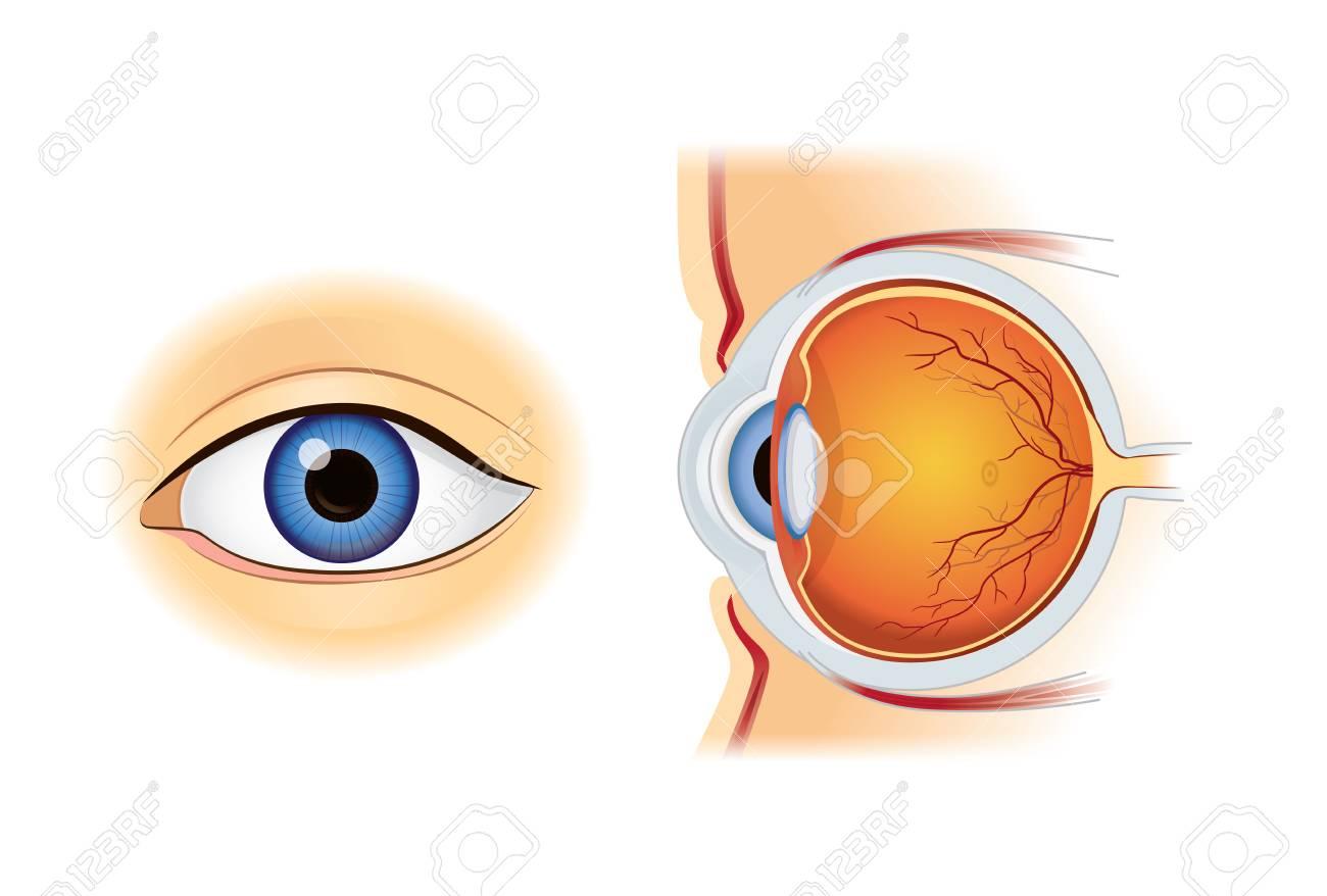 Menschliche Auge Anatomie In Innen-und Außenansicht Isoliert Auf ...