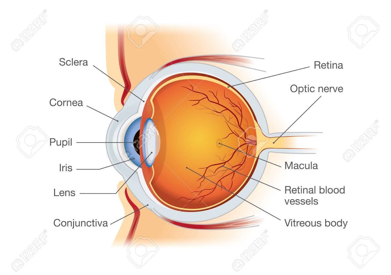 Menschliches Auge Anatomie In Seitenansicht, Illustration über ...