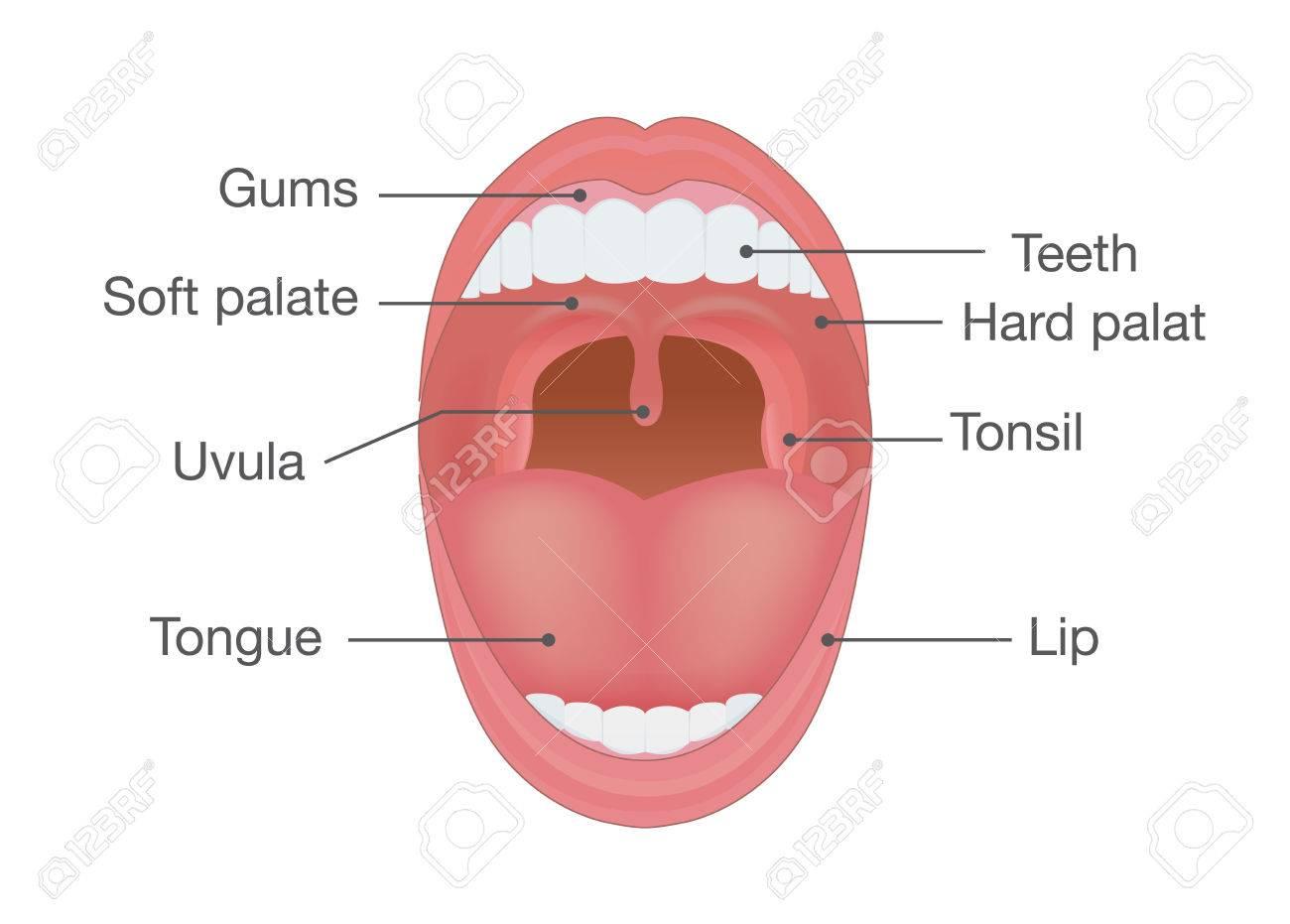 Anatomie Bouche anatomie de la bouche humaine. illustration sur le détail du corps