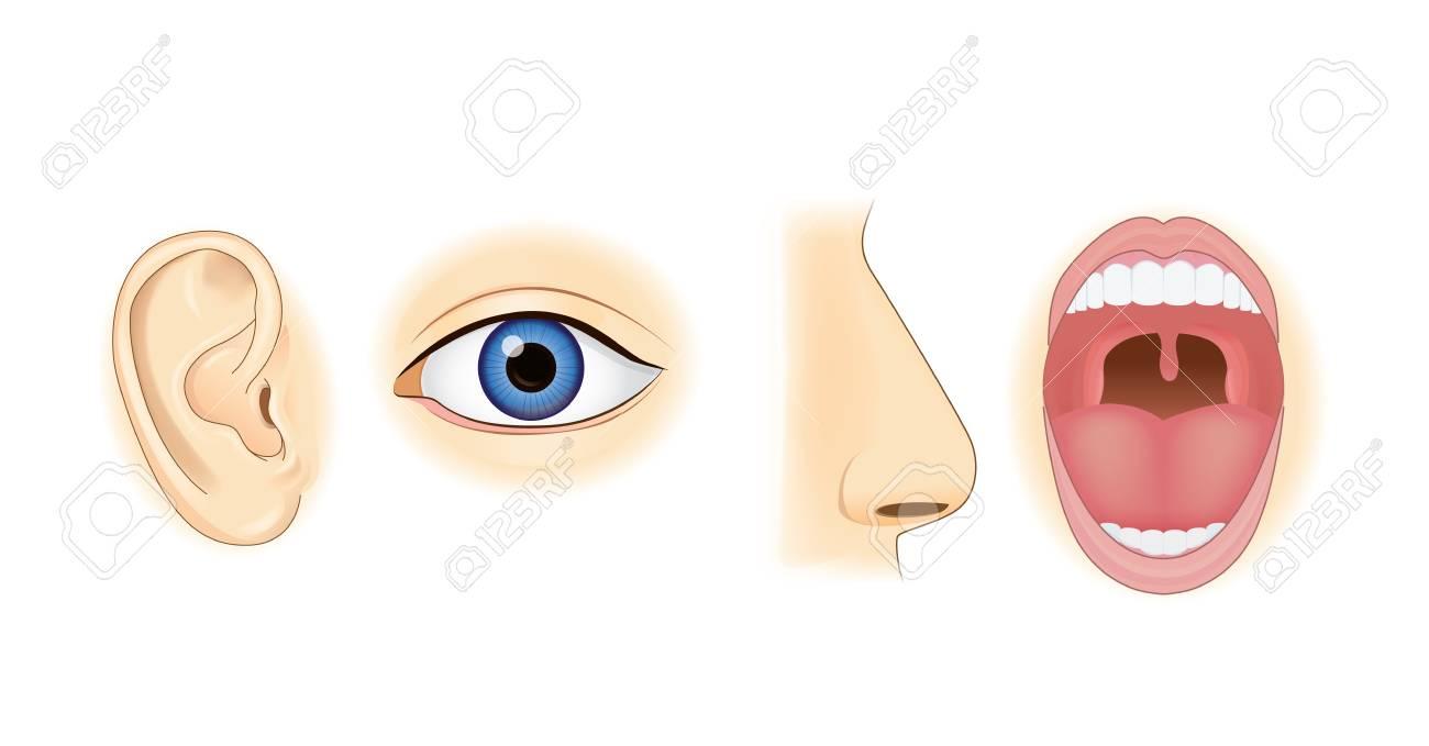 Ohr-Augen-Nase Und Mund In Der Vektorart Lokalisiert Auf Weiß ...