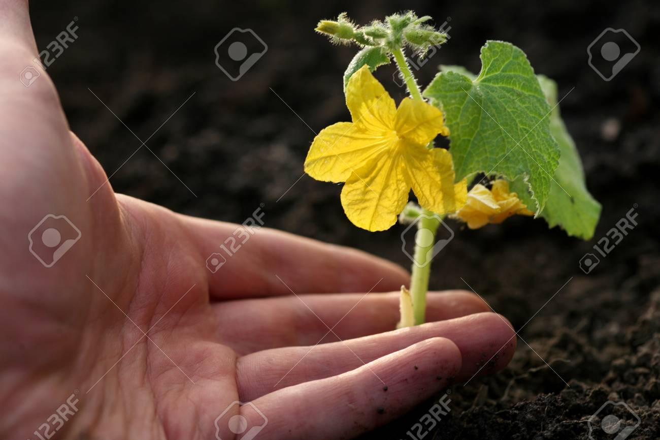 Hand planting small cucumber in soil Stock Photo - 4238114
