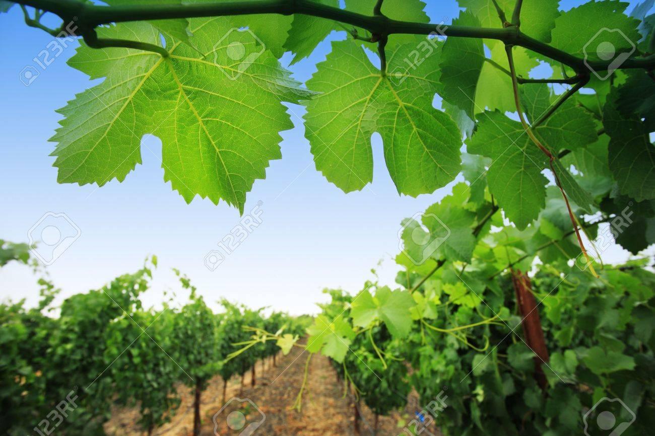 Grapevine plants in Napa Valley, California, USA. Shallow DOF. Stock Photo - 4322141