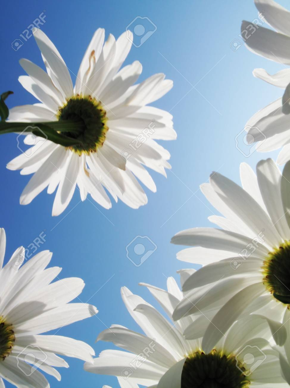 White daysies over blue sky. View from below. Stock Photo - 5948460