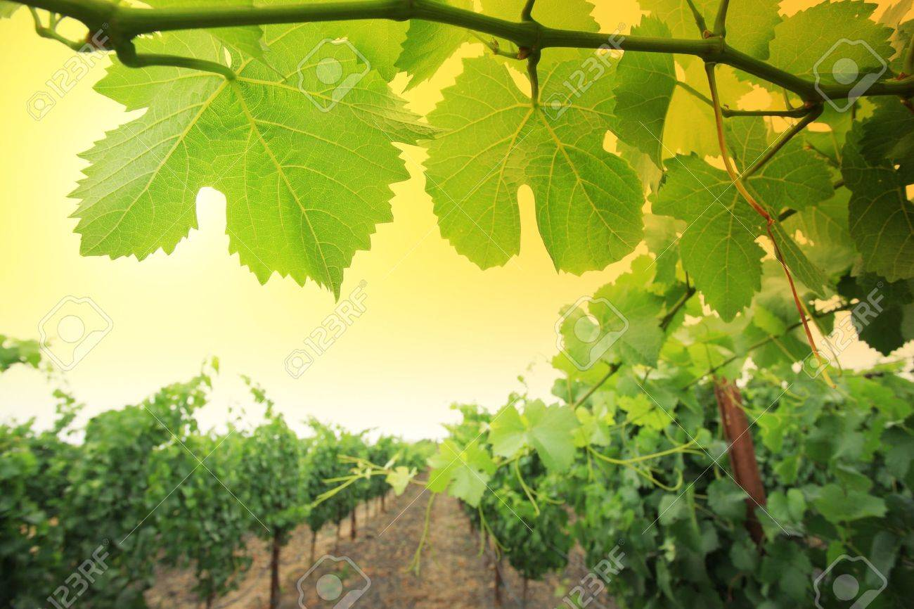 Grapevine plants in Napa Valley, California, USA. Shallow DOF. Stock Photo - 5948742