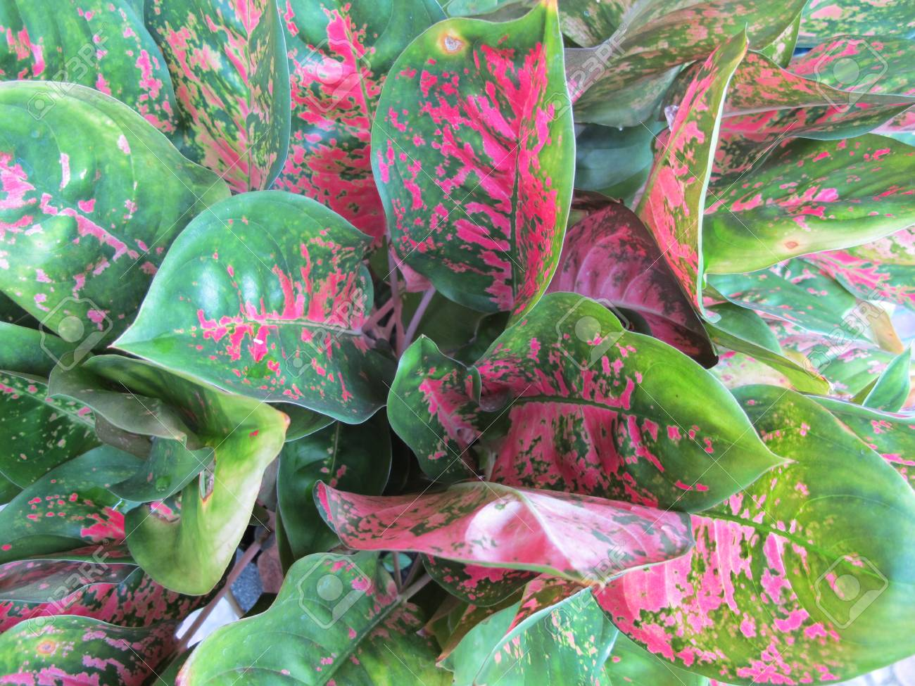 Tropical Plants Green Leaves With Red Spots Pattern Stock Photo Picture And Royalty Free Image Image 106055487