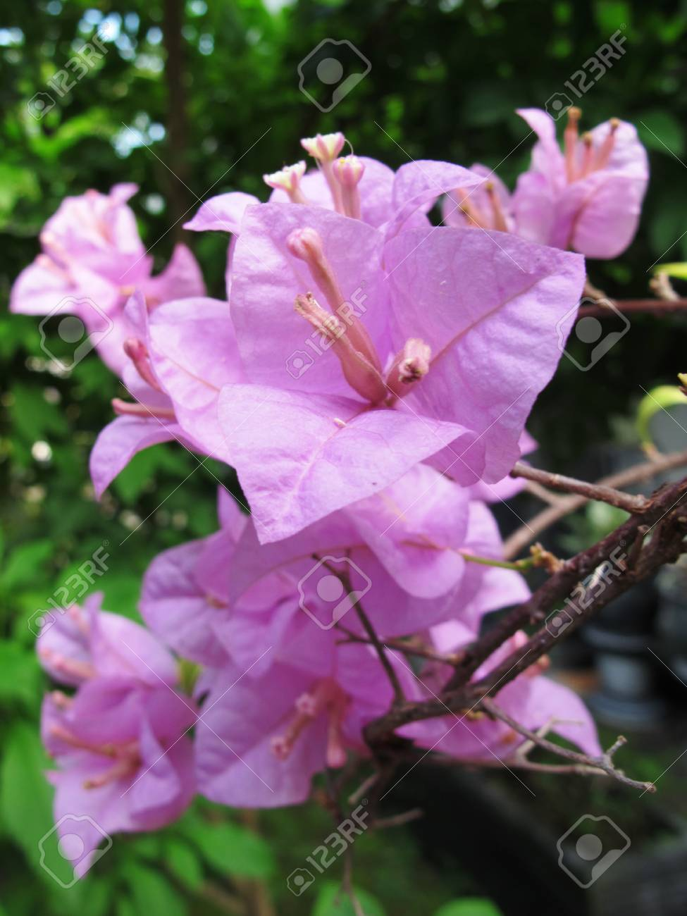 Tropical Plant Beautiful Pink Bougenville Flower Photography Stock