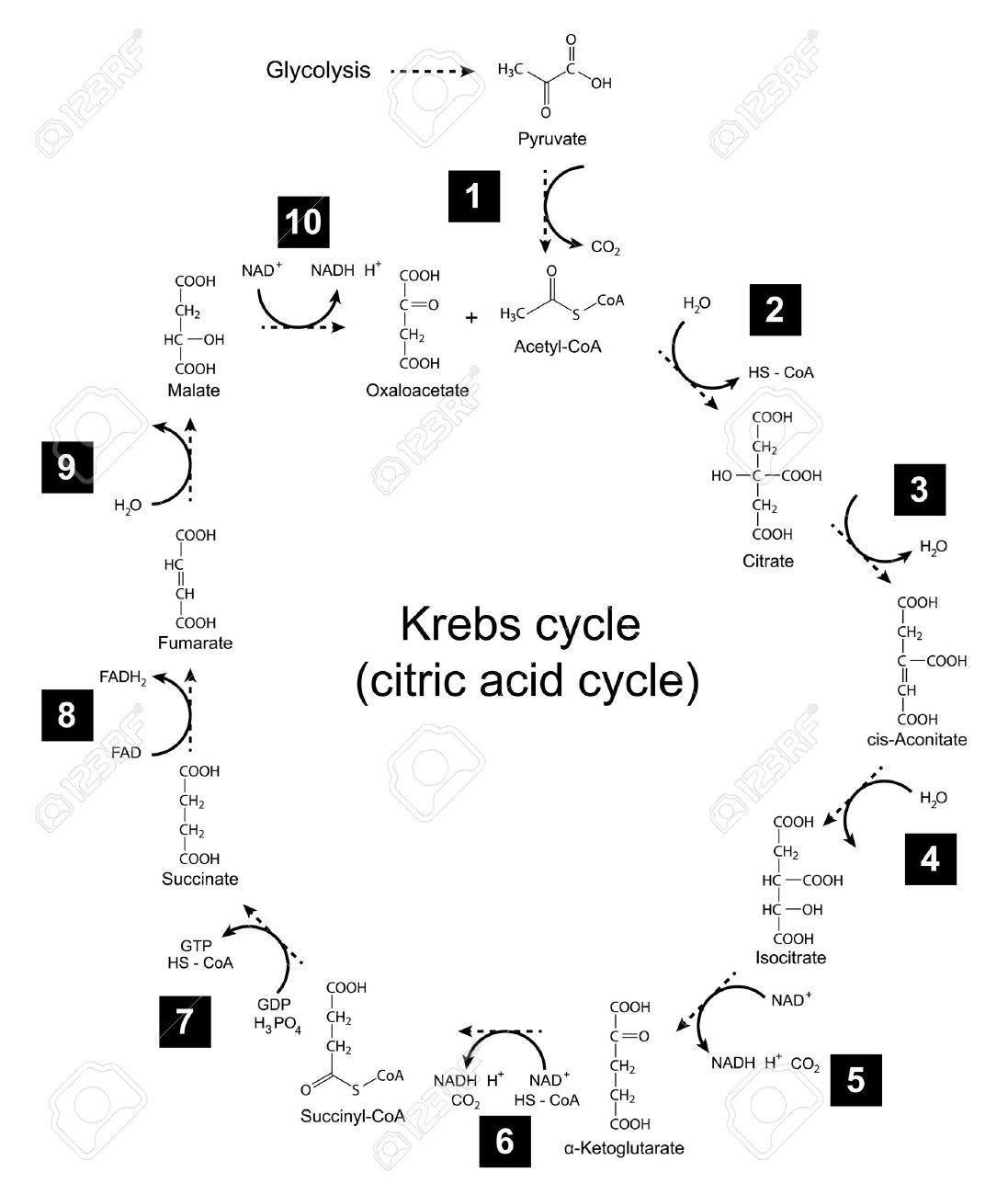 Chemical scheme of Krebs cycle - tricarboxylic acid citric cycle, 2d illustration, isolated on white background - 30656049