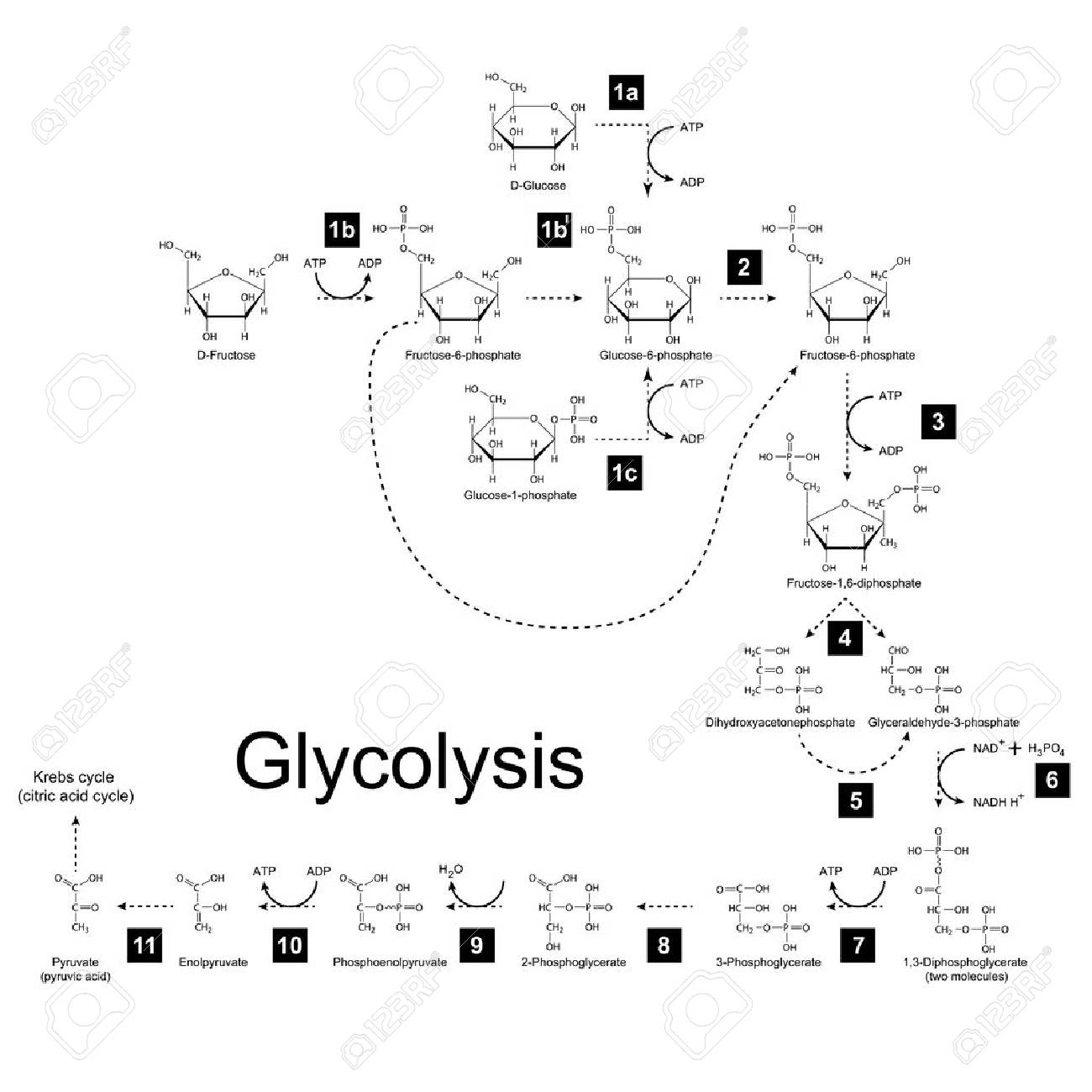 Chemical scheme of glycolysis metabolic pathway, 2d illustration on white background; vector, eps 8 - 33501539
