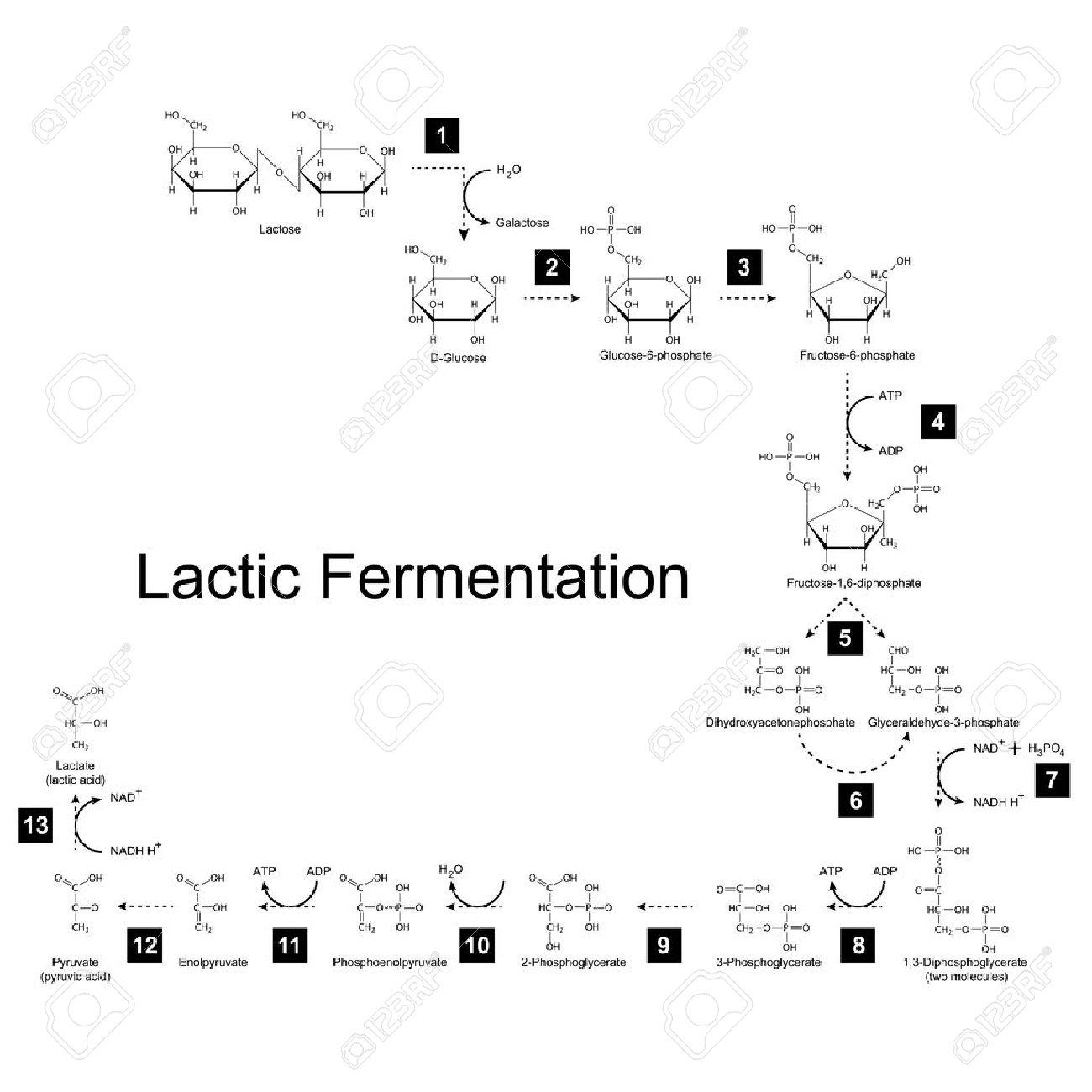 Chemische Schema Der Milchsäuregärung Stoffwechselweg, 2D ...