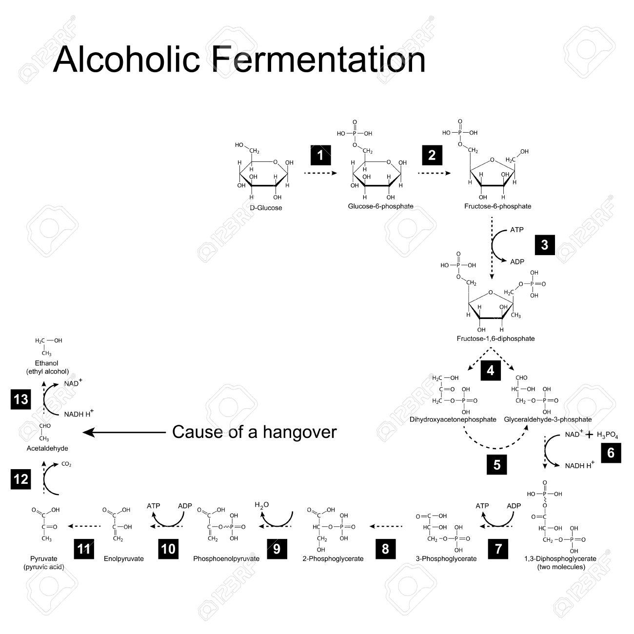 Chemische Schema Der Alkoholischen Gärung Stoffwechselweg, 2D ...