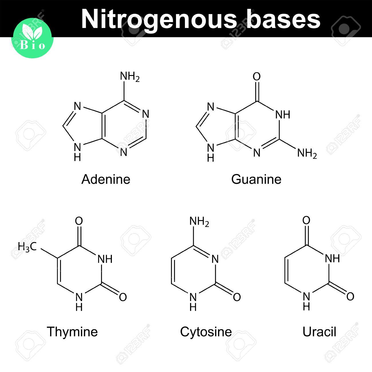 nitrogenous bases molecular structures, adenine, thymine, guanine, cytosine  and uracil molecules -