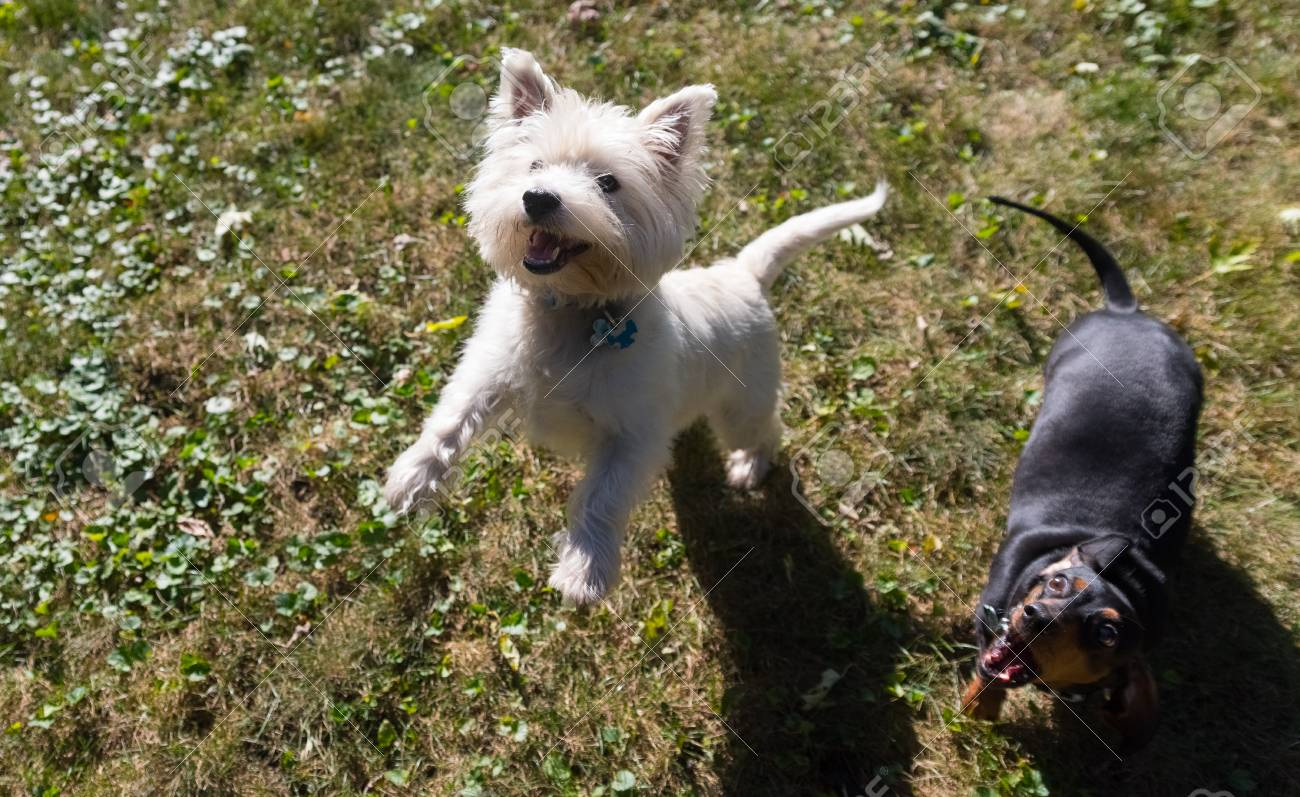 Little Black Dachshund And West Highland White Terrier Playing Stock Photo Picture And Royalty Free Image Image 90736861