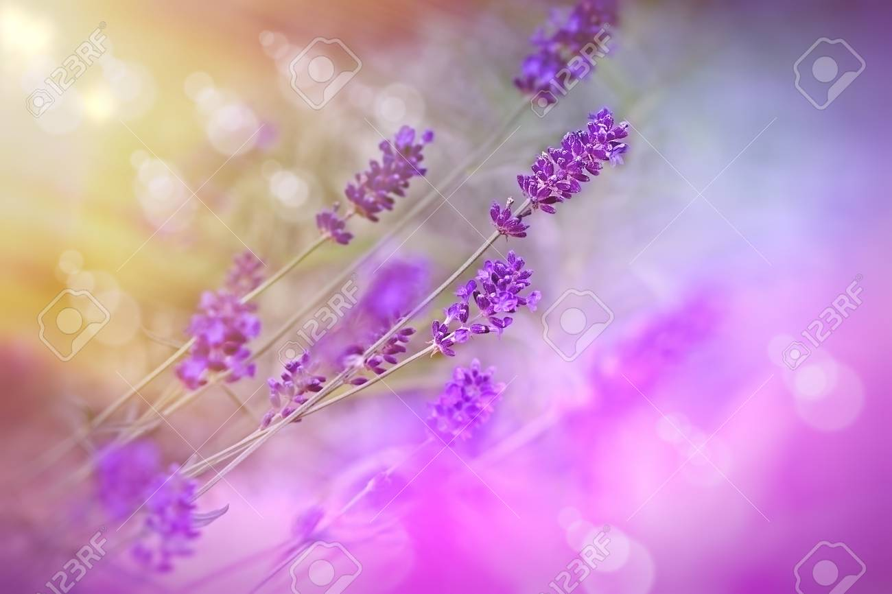 Beautiful lavender flowers in my flower garden stock photo picture beautiful lavender flowers in my flower garden stock photo 37576872 izmirmasajfo