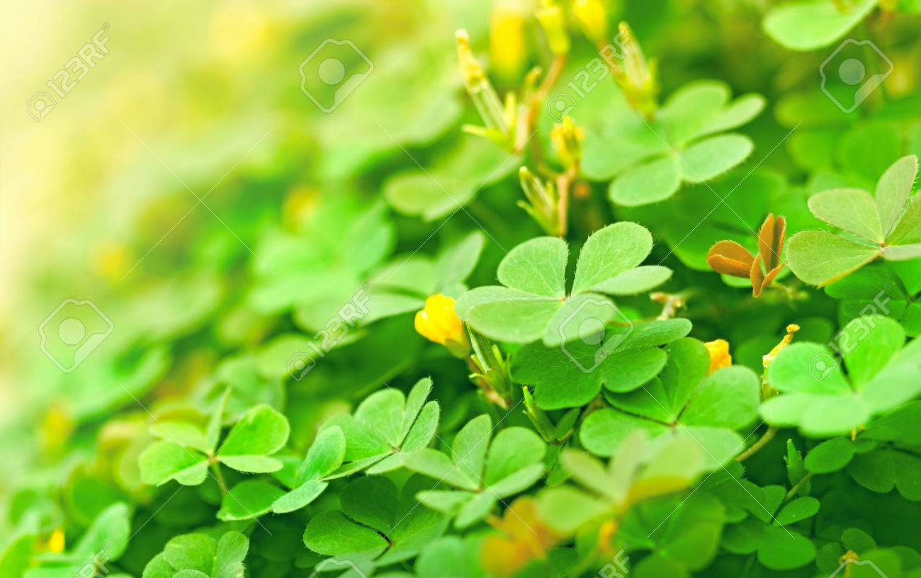 Green Clover And Little Yellow Flowers Stock Photo Picture And