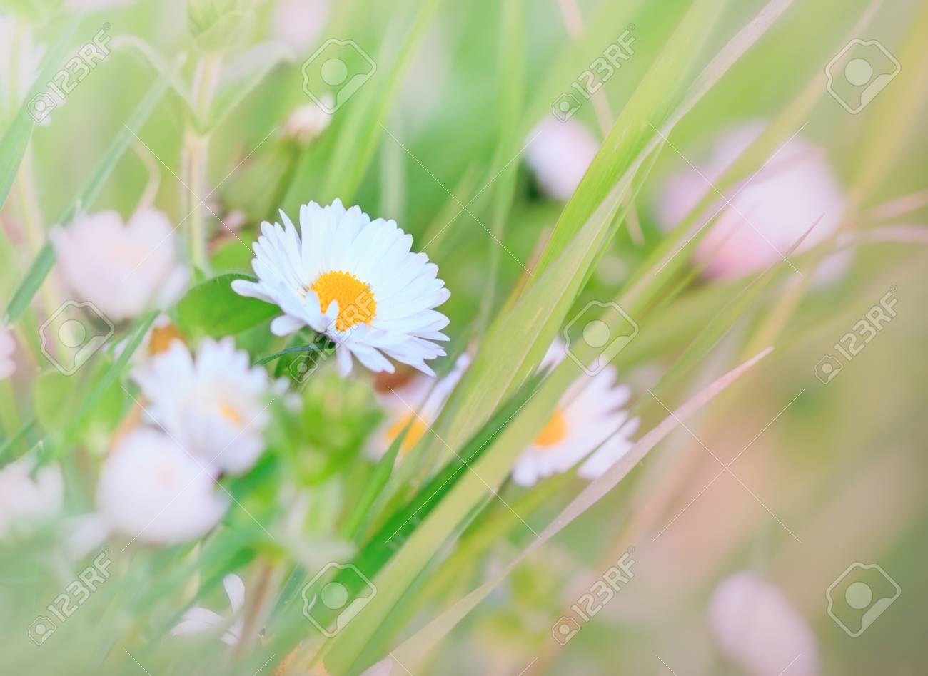 Beautiful daisy flowers in meadow stock photo picture and royalty beautiful daisy flowers in meadow stock photo 45693575 izmirmasajfo Choice Image