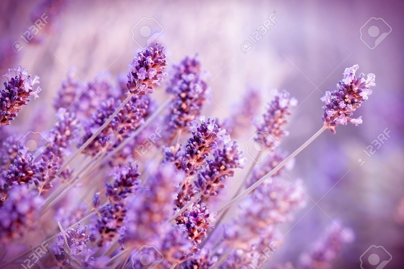 Beautiful lavender flowers stock photo picture and royalty free beautiful lavender flowers stock photo 44154909 izmirmasajfo