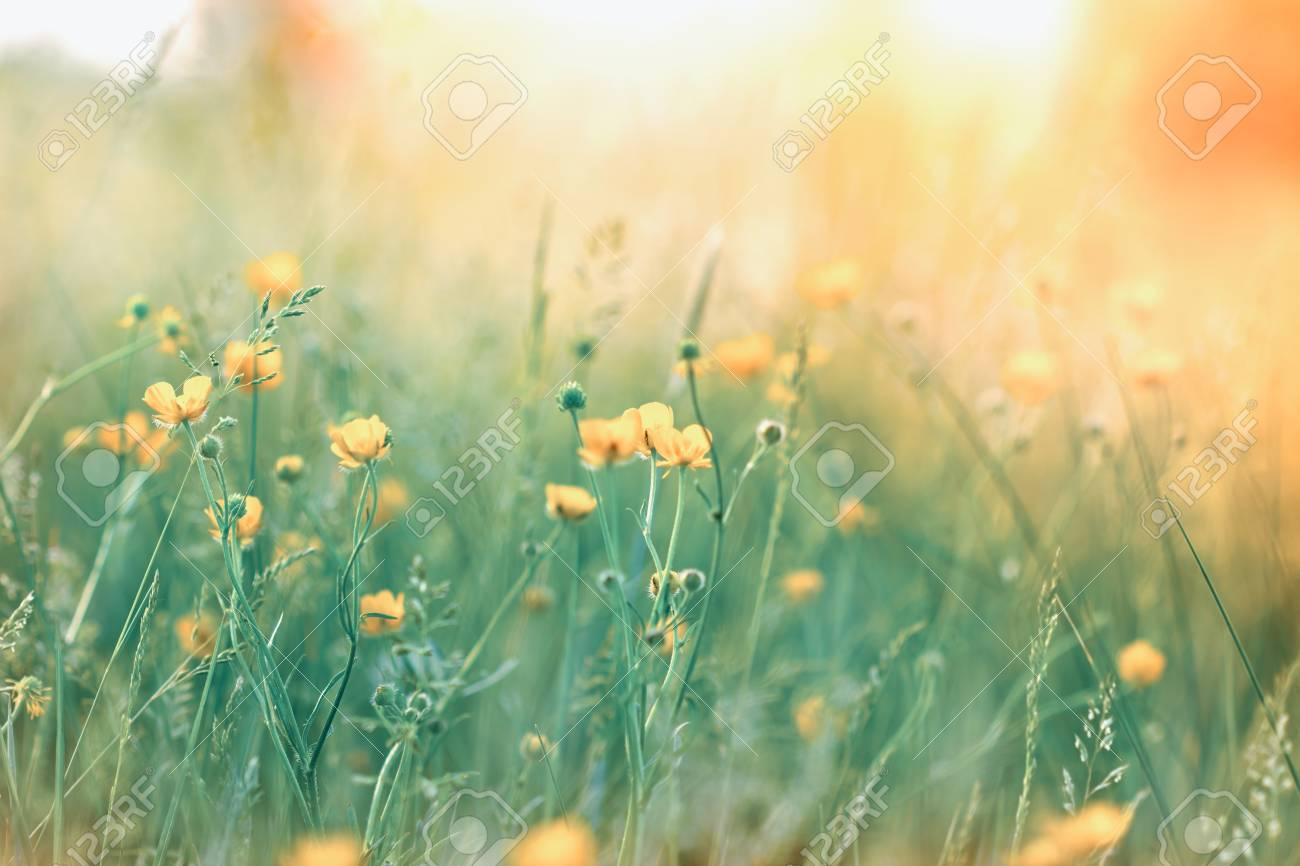 Soft Focus On Yellow Flowers In Meadow Stock Photo Picture And