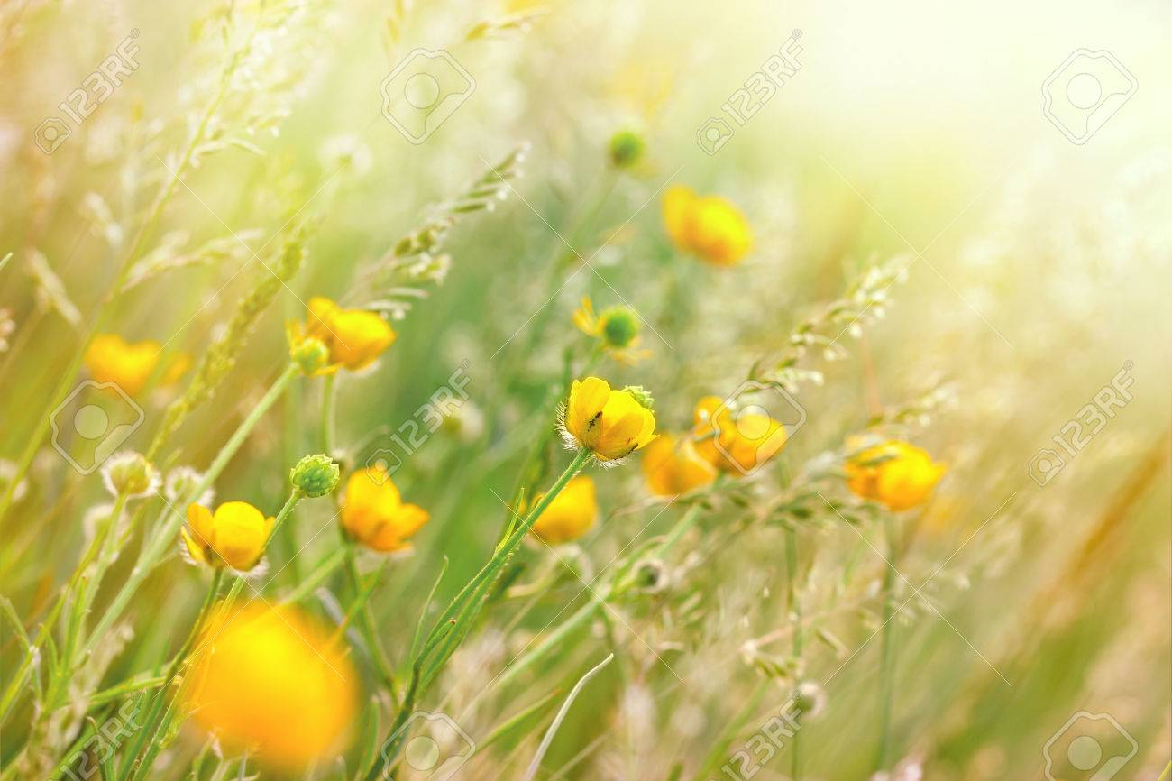 Yellow Meadow Flowers Wild Flower In Spring Stock Photo Picture