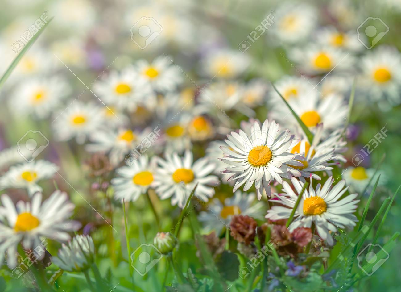 Beautiful daisy flowers in meadow springtime stock photo picture beautiful daisy flowers in meadow springtime stock photo 54281739 izmirmasajfo Choice Image