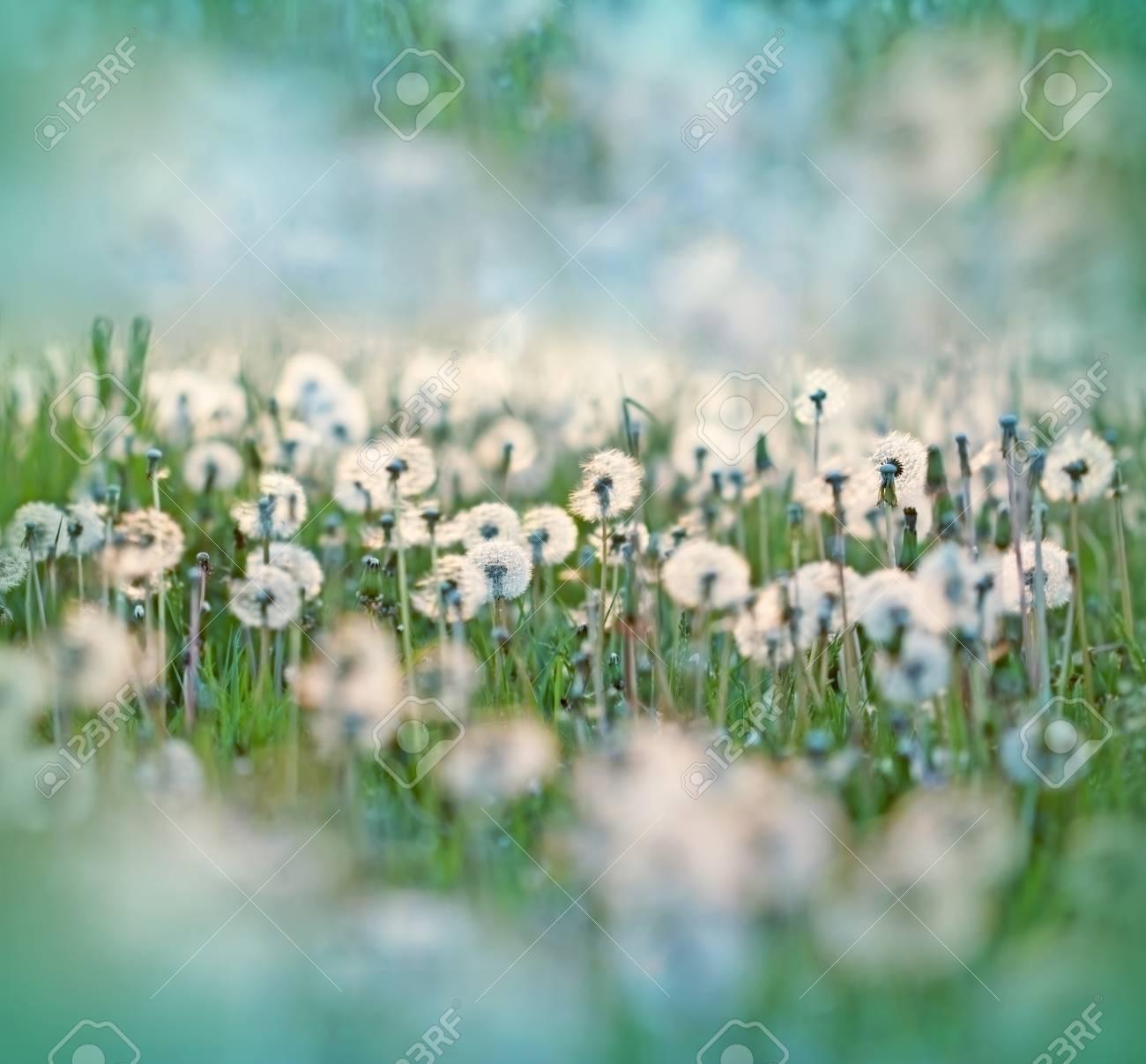 dandelion seeds in meadow dandelion seed fluffy blow ball stock