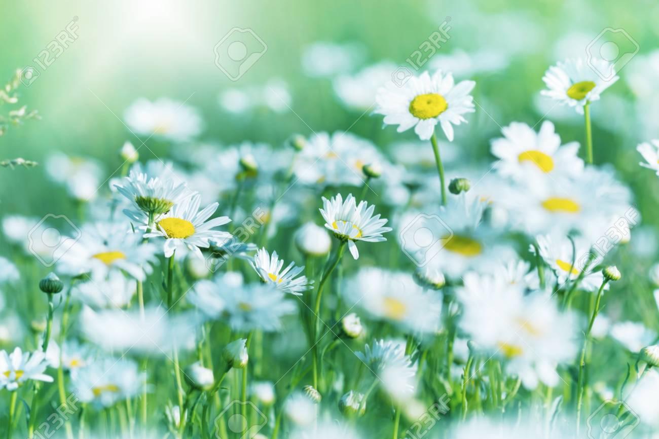 Beautiful daisy flowers stock photo picture and royalty free image beautiful daisy flowers stock photo 56565970 izmirmasajfo Choice Image