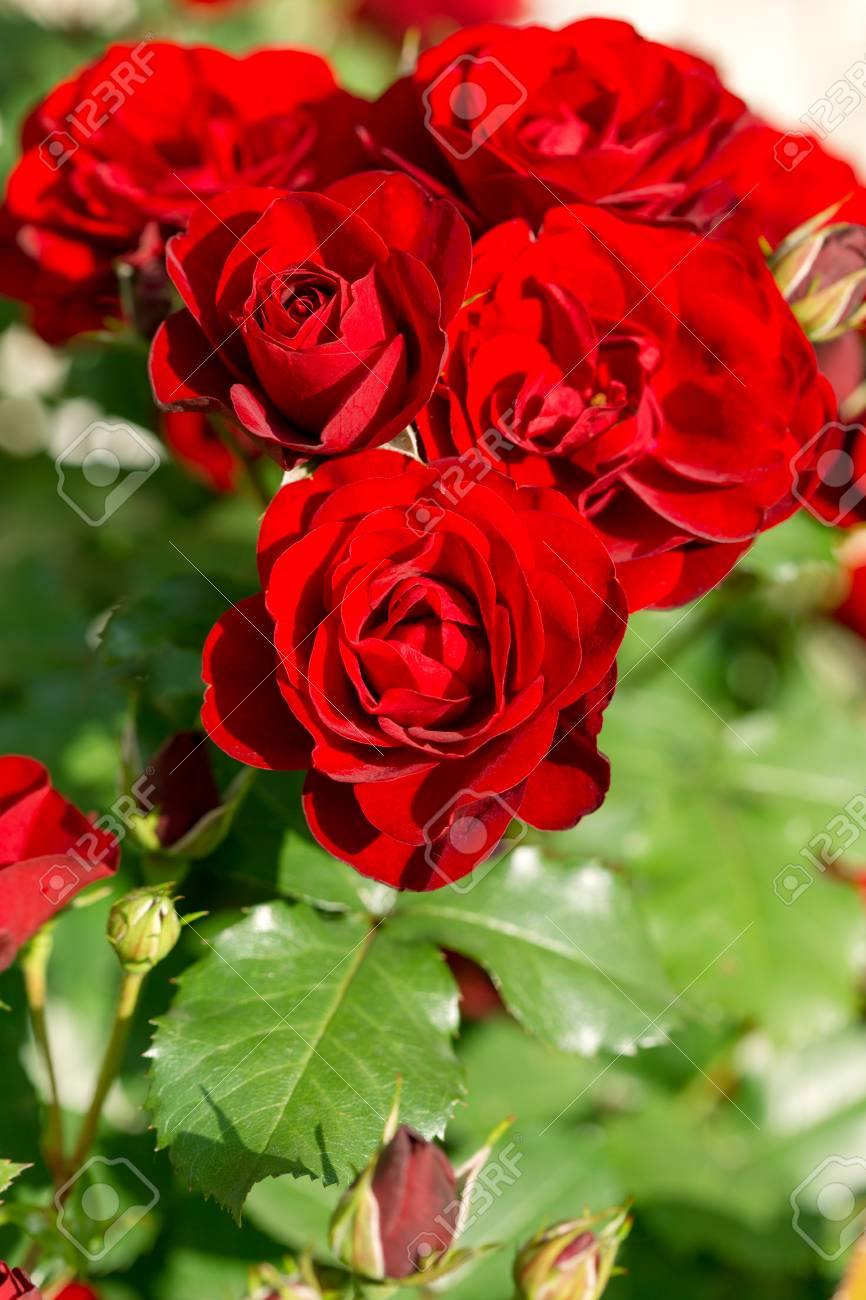 Beautiful flower red rose in flower garden stock photo picture and beautiful flower red rose in flower garden stock photo 57200075 izmirmasajfo