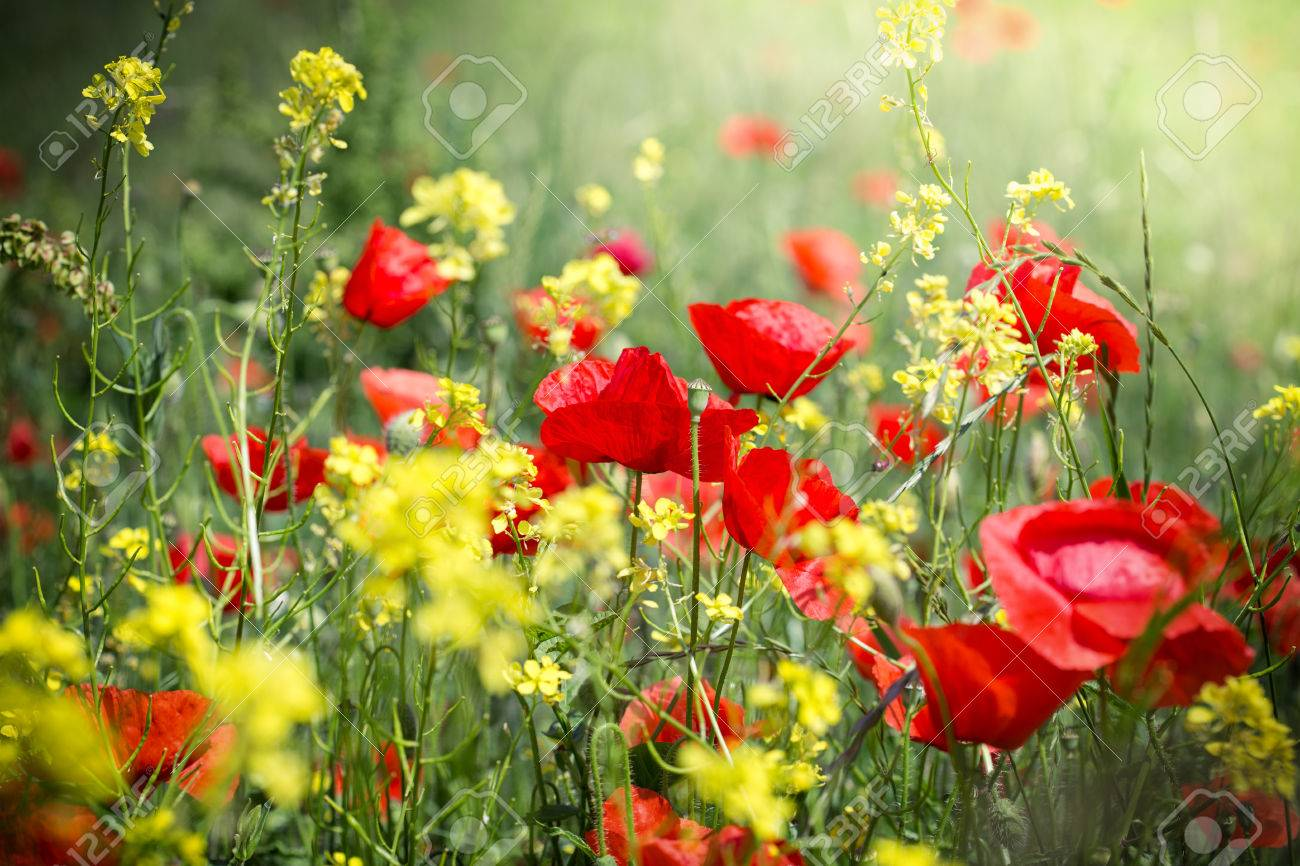 Meadow flowers red poppy flower and yellow flowers stock photo meadow flowers red poppy flower and yellow flowers stock photo 58151008 mightylinksfo