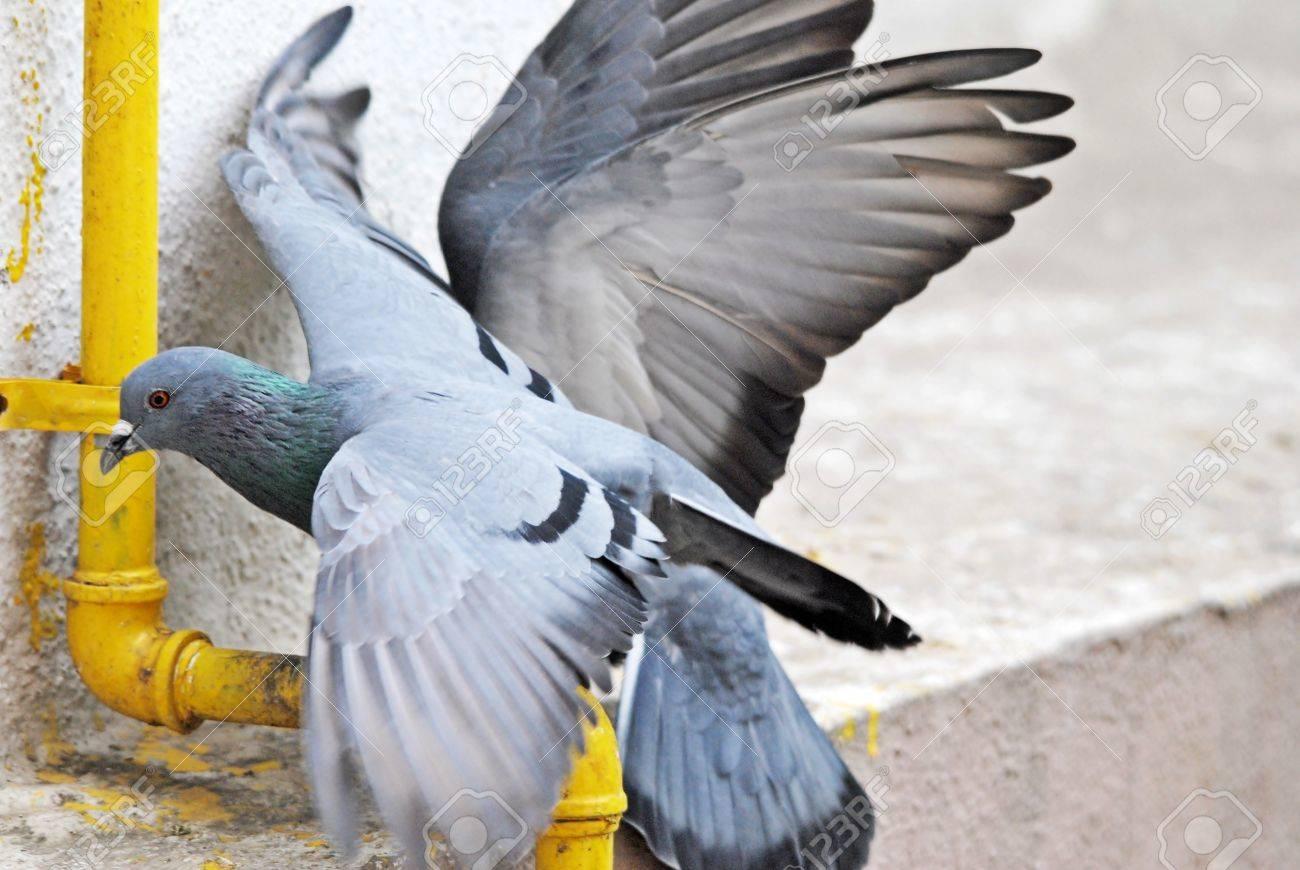 pigeon fight Stock Photo - 13852760