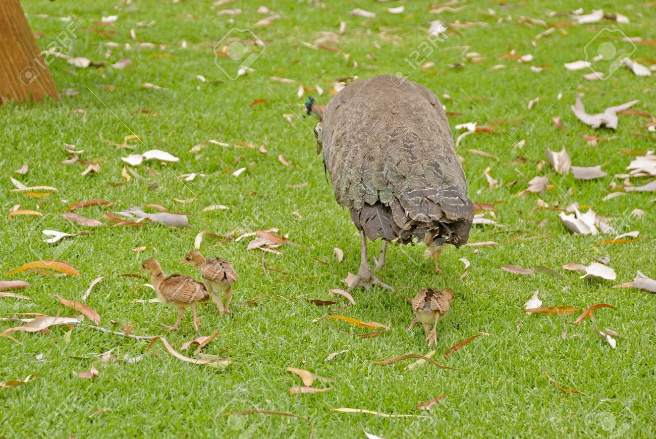A Peahen With Her Young Chicks Closeup
