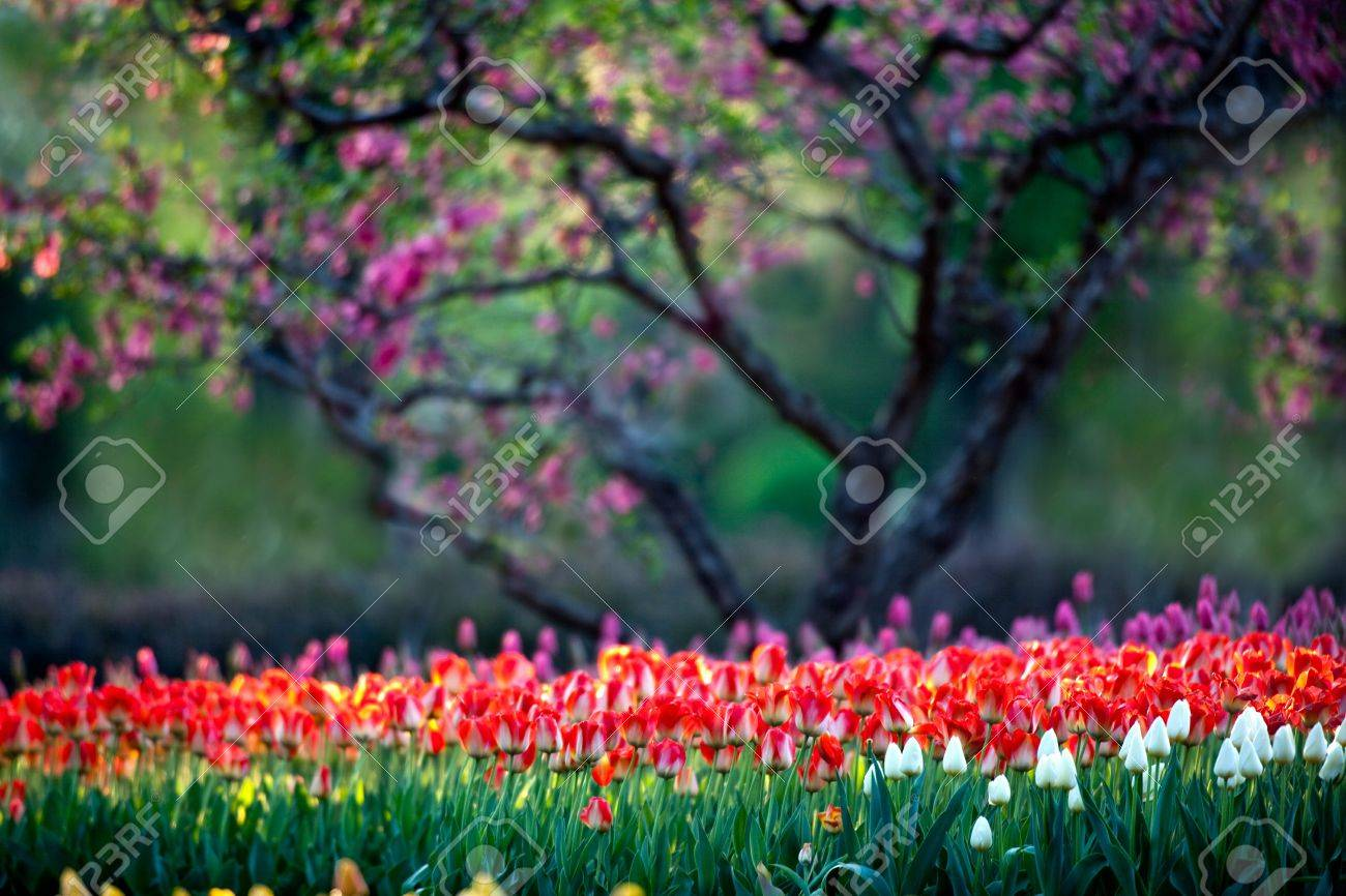 Beijing Botanical Garden in full bloom in the Tulip Stock Photo - 4712328