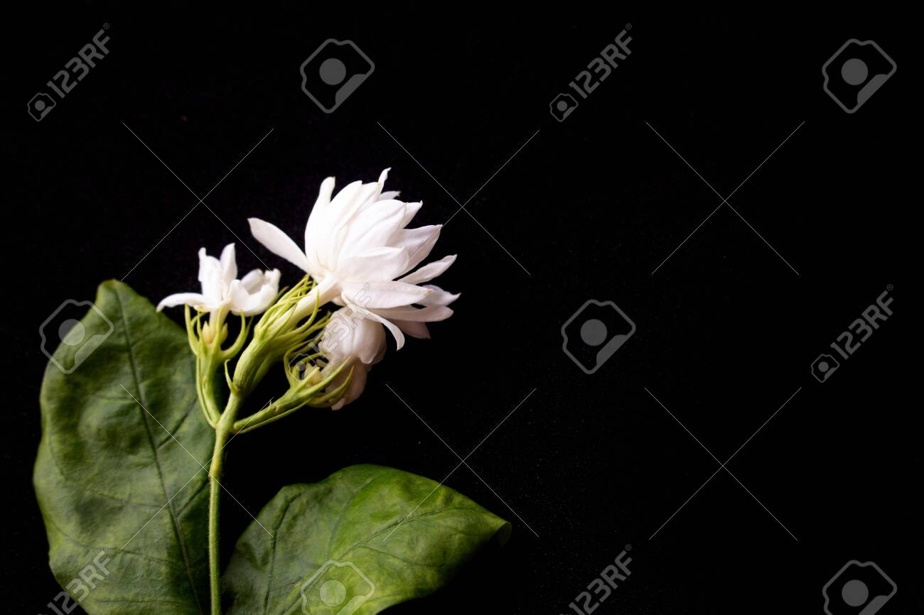 Beautiful Jasmine Flowers Isolated On Black Background Stock Photo Picture And Royalty Free Image Image 121247243