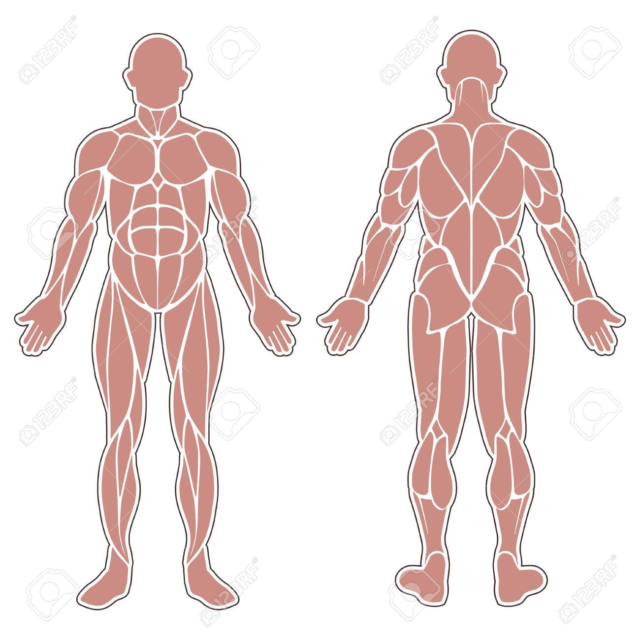 Human Muscles Silhouette Isolated On White Background Royalty Free