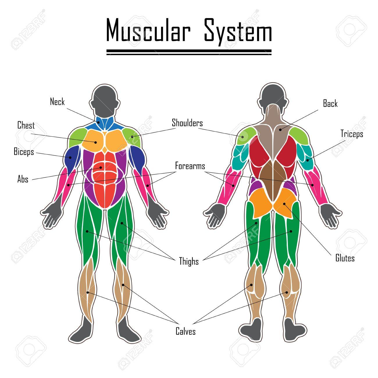 Músculos Del Cuerpo Humano De Diferentes Colores Y El Texto ...