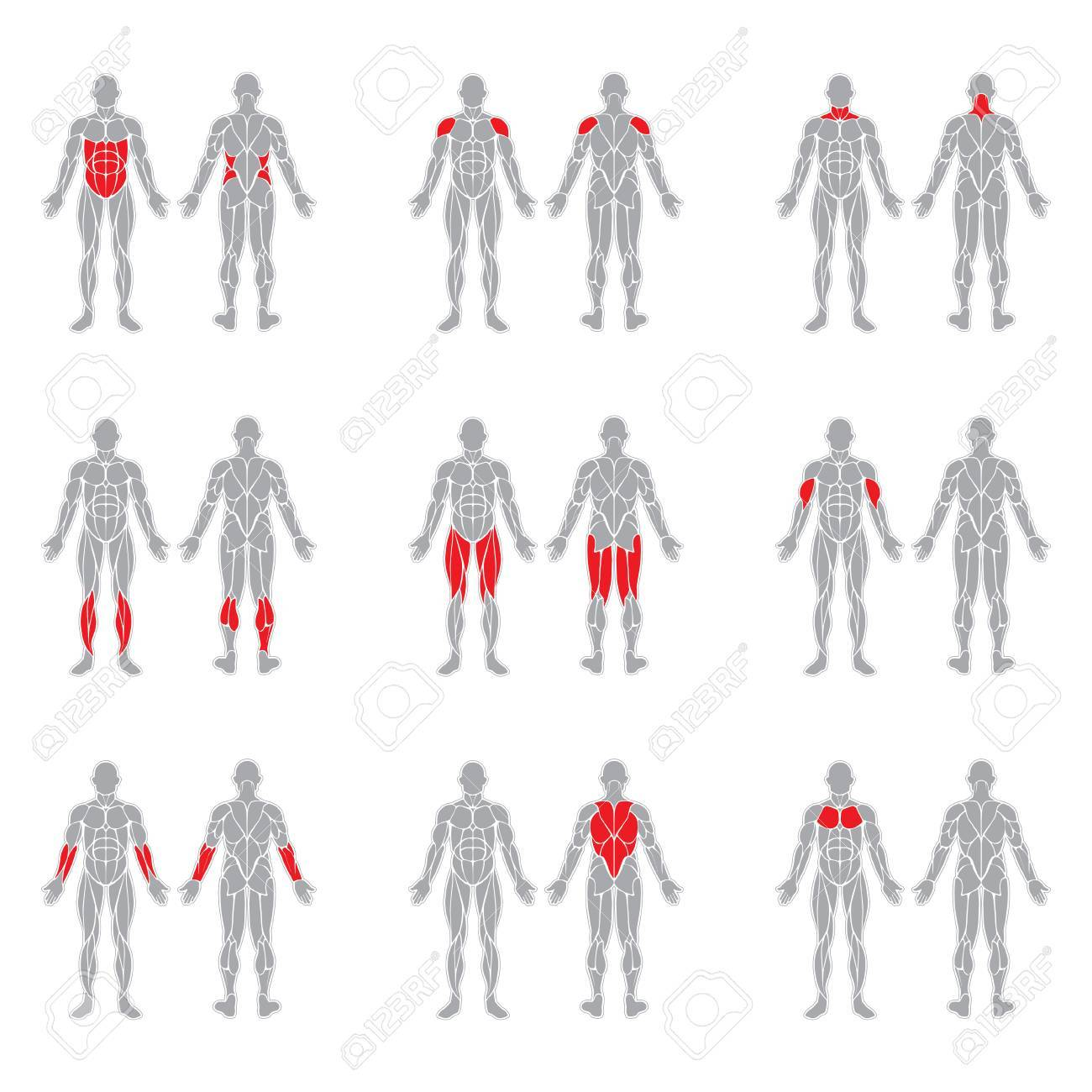 Human muscles silhouettes isolated on white background - 68319561