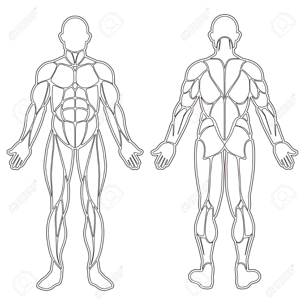 Human Body Silhouette With All Muscles Isolated On White Royalty ...