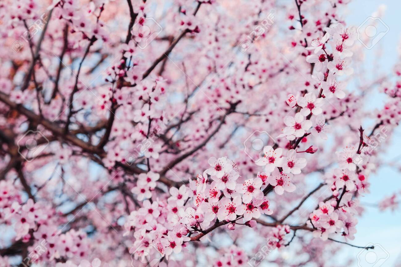 Beautiful Pink Flowering Trees Floral Spring Background With