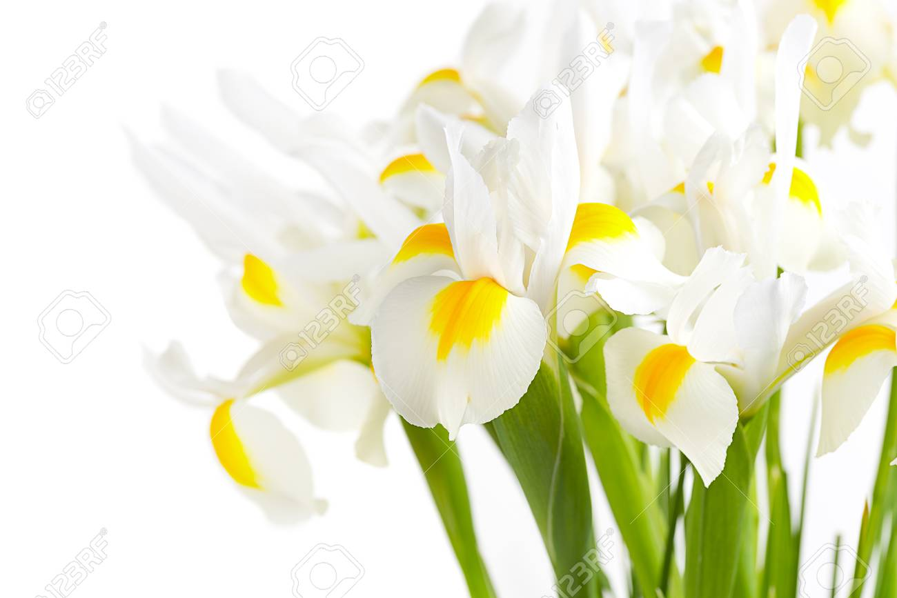 White iris flowers stock photo picture and royalty free image stock photo white iris flowers izmirmasajfo Choice Image