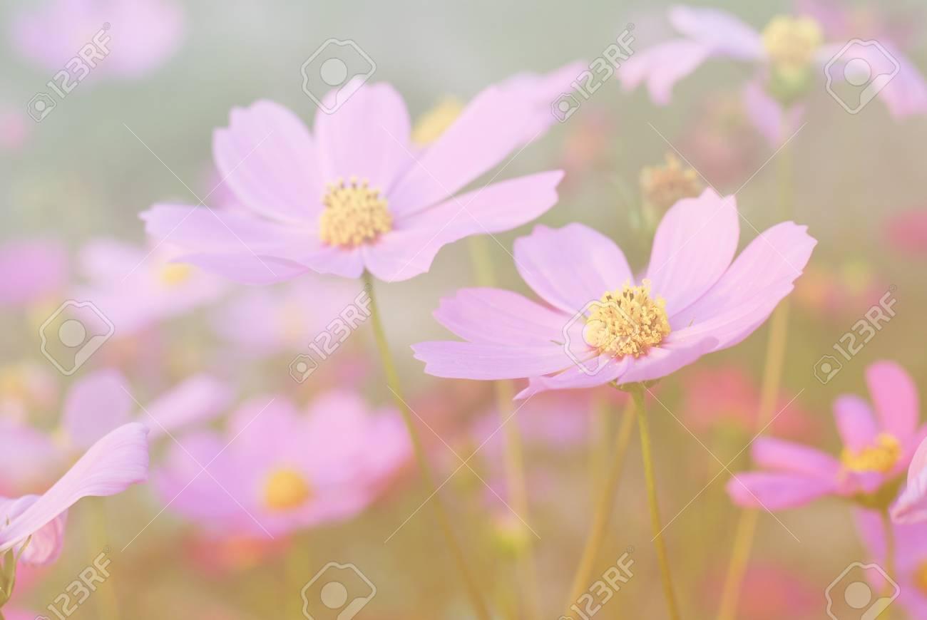 コスモスの花ビンテージ トーン背景壁紙 の写真素材 画像素材 Image