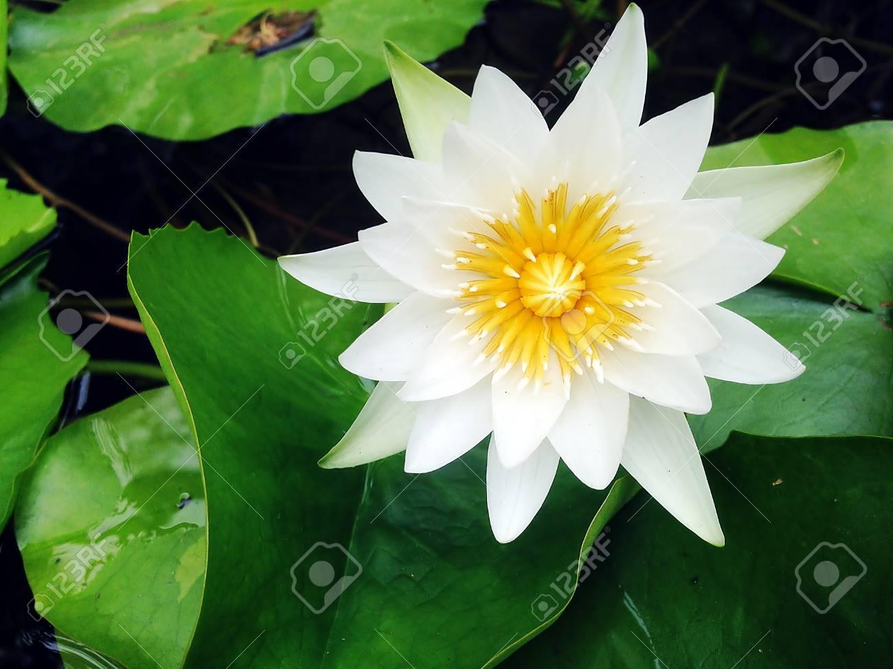 Beautiful White Lotus Flower Is Blooming And Lotus Flower Plants