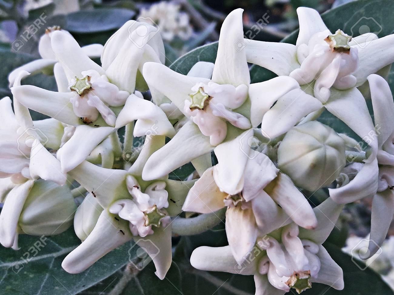 Beautiful White Flower, Crown Flower, Giant Indian Milkweed,.. Stock ...