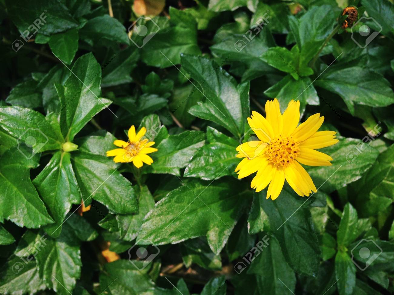 Beautiful melampodium divaricatum or little yellow star flower beautiful melampodium divaricatum or little yellow star flower in the garden stock photo 84211840 mightylinksfo