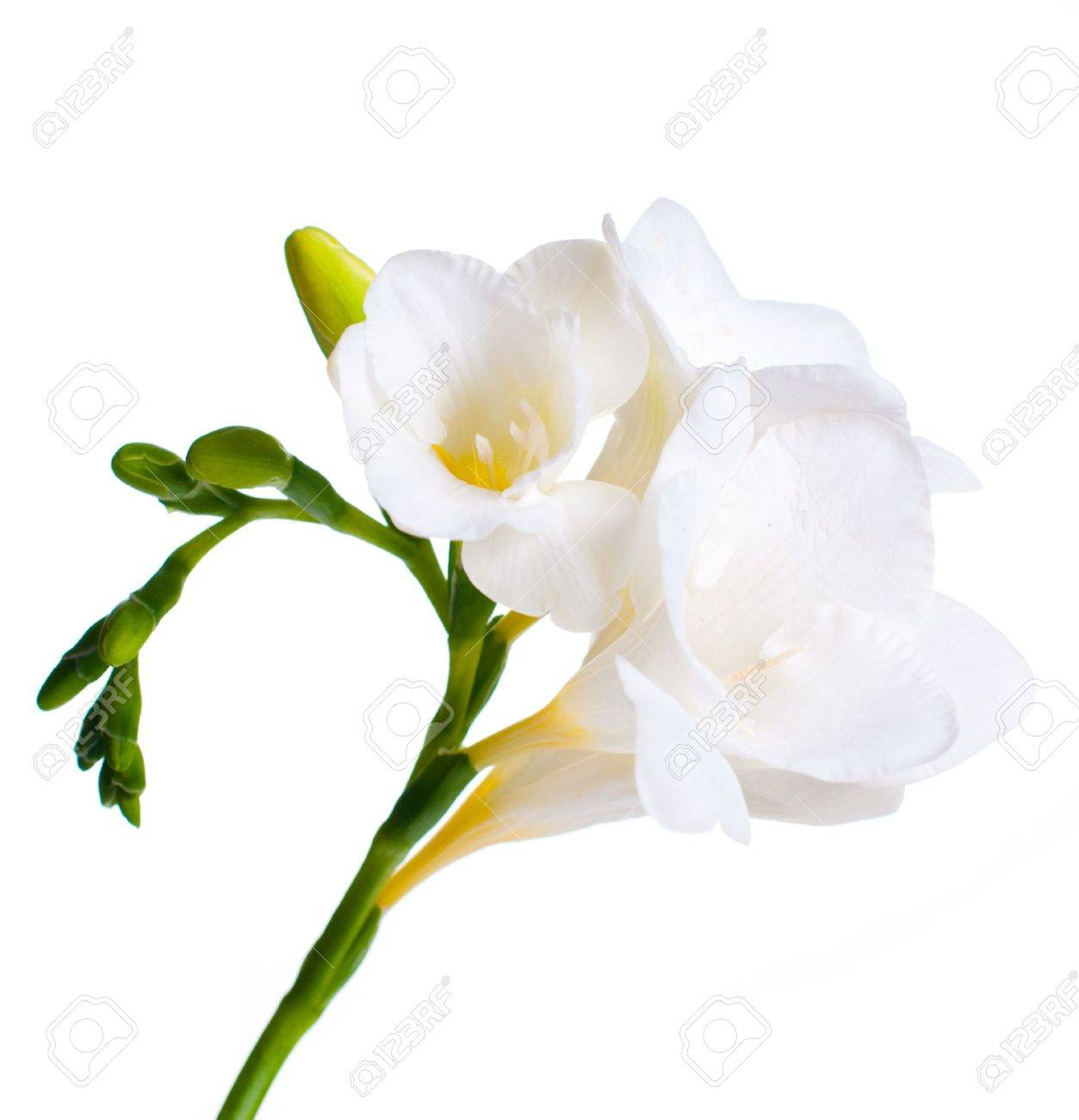 Close up of white freesia flowers stock photo picture and royalty close up of white freesia flowers stock photo 12467758 mightylinksfo