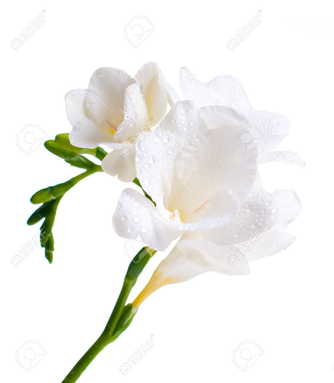 Close up of white freesia flowers with water drops stock photo close up of white freesia flowers with water drops stock photo 12467752 mightylinksfo